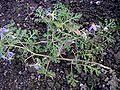 Solanum citrullifolium habit.jpg