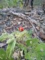 Solanum gympiense.jpg