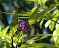 Solanum laciniatum.jpg