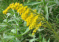 Solidago chilensis (8470071360).jpg