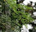 Sonjna (Moringa oleifera) at Jayanti, Duars, West Bengal W IMG 5250.jpg