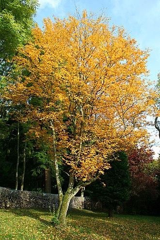 Sorbus alnifolia - Image: Sorbus alnifolia 'Submollis' JPG1Ta