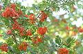 Sorbus aucuparia with fruits.jpg