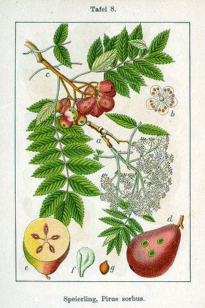 Jacob Sturm - Service tree in Deutschlands Flora in Abbildungen