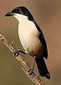 Southern Boubou, Laniarius ferrugineus, at Walter Sisulu National Botanical Garden, Gauteng, South Africa (29480682546).jpg