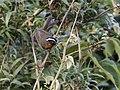 Sphenopsis piurae - Piura Hemispingus.jpg