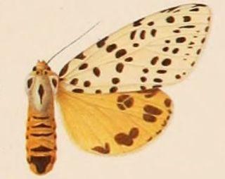<i>Juxtarctia multiguttata</i> Species of moth