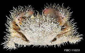 Spineback Hairy Crab (11354991244).jpg
