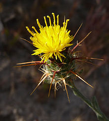 Spiny yellow bud.JPG