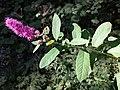 Spiraea ×billardii sl1.jpg