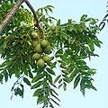 Spondias dulcis, June plum.jpg