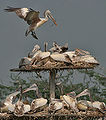 Spot-billed Pelican (Pelecanus philippensis) landing with nesting material at nest with chicks W IMG 2857.jpg