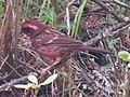 Spot-winged rosefinch, Carpodacus rodopeplus.jpg