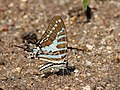 Spot swordtail from Savandurga IMG 0122.jpg