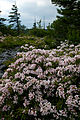Spring-bloom-wildflowers-bush - West Virginia - ForestWander.jpg
