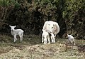 Spring triplets near Binne More - geograph.org.uk - 744764.jpg