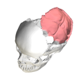 Squamous part of occipital bone04.png