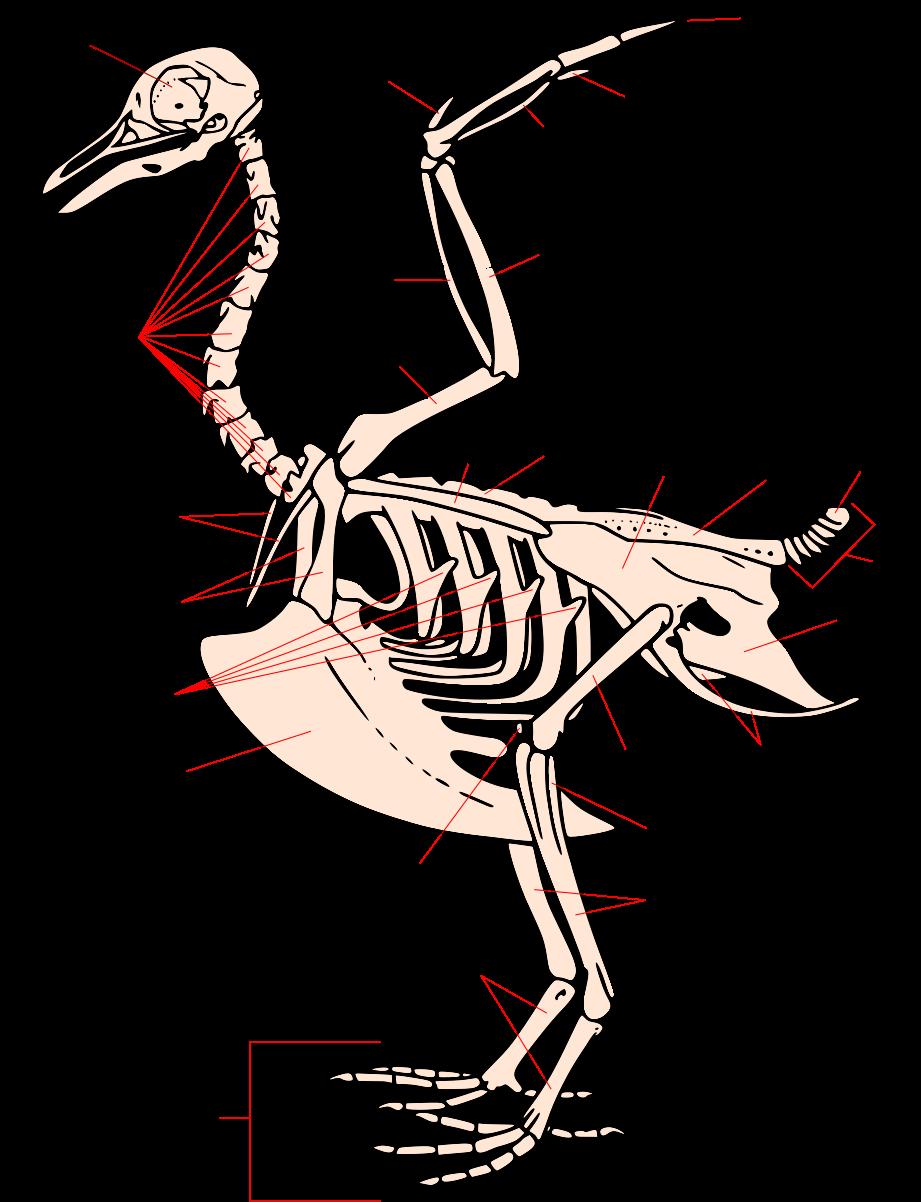 Squelette oiseau-ar