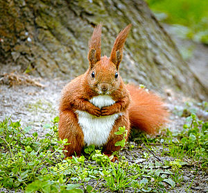 Red squirrel - Underparts are generally white/cream coloured