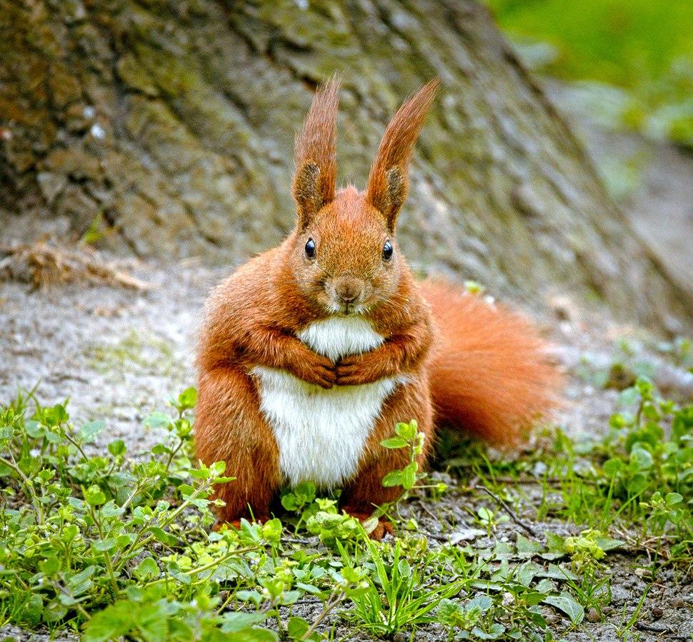 Squirrel (17026400639)