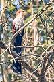 Squirrel Cuckoo -57 100- (36296412860).jpg