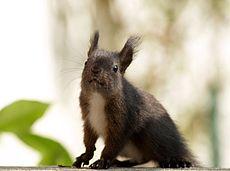 Černá forma veverky obecné