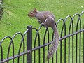 Squirrel in London.jpg