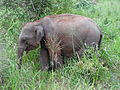 Sri Lankan Elephant in Hurulu Eco Park 46.JPG