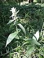 Stachys germanica (subsp. germanica) sl50.jpg