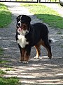 Standing Bernese Mountain Dog Female.jpg
