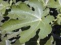Starr-010330-0590-Ficus carica-leaf-Kahului-Maui (24449766381).jpg