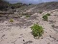 Starr-030523-0008-Myoporum sandwicense-planted with naupaka-Kanaha Beach-Maui (24552409841).jpg