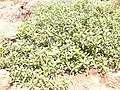 Starr-030525-0008-Myoporum sandwicense-prostrate kona form habit-Kanaha Beach-Maui (24608659346).jpg