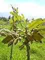 Starr-040131-0050-Bocconia frutescens-habit-Auwahi-Maui (24402084320).jpg