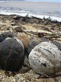 Starr-040323-0080-Aleurites moluccana-beach flotsam-Kanaha Beach-Maui (24581978242).jpg