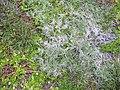 Starr-040514-0085-Cynodon dactylon-habit-Puhilele HNP-Maui (24334758049).jpg