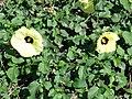 Starr-061111-1575-Hibiscus ovalifolius-flowers-Pukalani-Maui (24242084633).jpg
