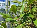 Starr-080103-1434-Syzygium aromaticum-leaves-Lowes Garden Center Kahului-Maui (24275162583).jpg
