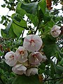 Starr-090430-7055-Dombeya pulchra-flowers and leaves-Enchanting Floral Gardens of Kula-Maui (24658323090).jpg