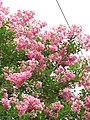 Starr-090623-1425-Lagerstroemia indica-flowers-Nahiku-Maui (24598869169).jpg