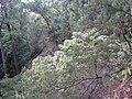 Starr-091029-8727-Aleurites moluccana-habit in gulch-Olinda-Maui (24869252522).jpg