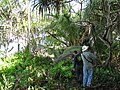 Starr-091104-0728-Scaevola taccada-habit with hala and Kamaui and Forest-Kahanu Gardens NTBG Kaeleku Hana-Maui (24987489905).jpg