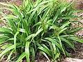 Starr-110411-4958-Dianella sandwicensis-fruiting habit form sandwicensis-Hawea Pl Olinda-Maui (24714857569).jpg