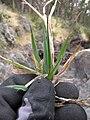 Starr-110705-6768-Holcus lanatus-leaves-Waiale Gulch-Maui (24730682139).jpg