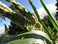Starr-110731-8144-Zea mays-habit cv JB White male flowers-Hawea Pl Olinda-Maui (24471621824).jpg