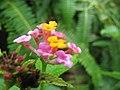 Starr-110827-8113-Lantana camara-flowers-Waihee Ridge Trail-Maui (24472833974).jpg