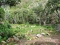 Starr-120229-9120-Colocasia esculenta-loi restoration-Waikapu Valley-Maui (24841026270).jpg