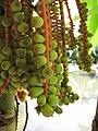 Starr-120522-6450-Pinanga kuhlii-fruit-Iao Tropical Gardens of Maui-Maui (25143743835).jpg