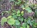 Starr-120620-7489-Actinidia deliciosa-habit-Kula Agriculture Station-Maui (25027514472).jpg