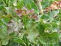 Starr-120620-7553-Jatropha curcas-leaves-Kula Agriculture Park-Maui (25052601591).jpg